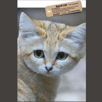 【オリジナル ポストカード】21057 スナネコ 顔アップ