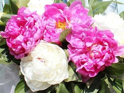 芍薬の花(20本入り1ケース)
