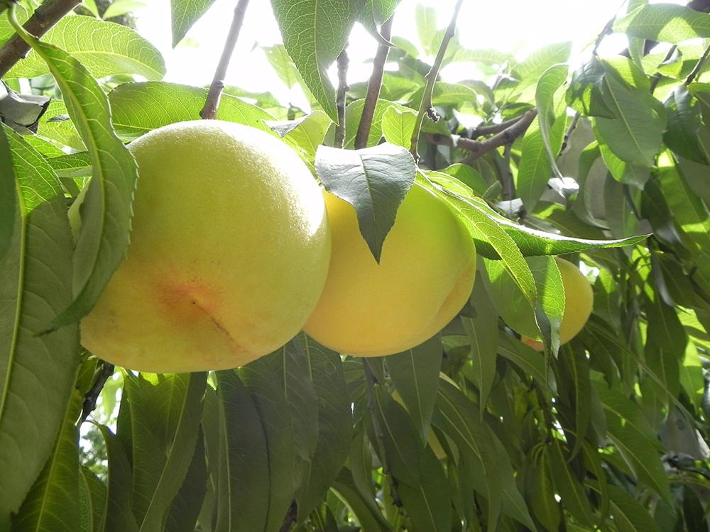 岡山県の白桃