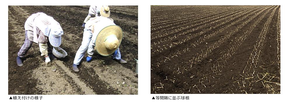 らっきょう栽培,苦労,大変,らっきょう,栽培