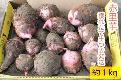 赤里芋【新切農園】