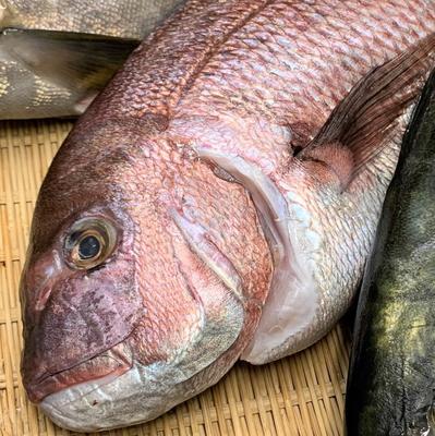 津本式究極の血抜き 養殖真鯛 1.8~2.2kg(丸魚)