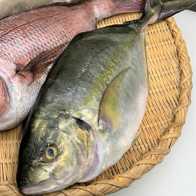 津本式究極の血抜き 養殖シマアジ 1.9~2.2kg(丸魚)【水産物応援商品・送料無料】