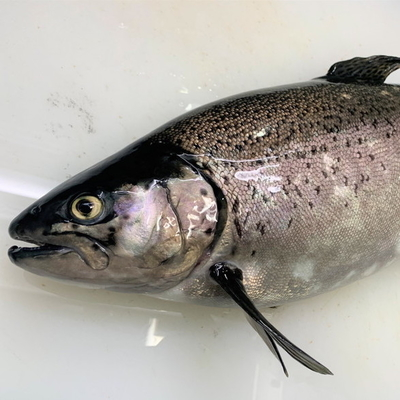 津本式究極の血抜き 国産養殖サーモン 2.3~3kg(丸魚)【水産物応援商品・送料無料】