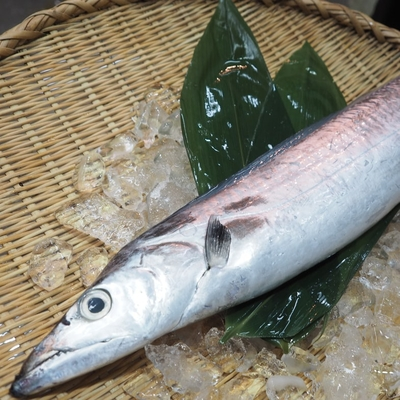 タチウオ 1.2kg位【水産物応援商品・送料無料】