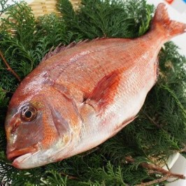 活〆養殖真鯛 1.5~2kg