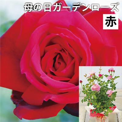 【送料込】母の日ガーデンローズ 赤系