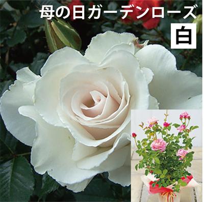 【送料込】母の日ガーデンローズ 白系