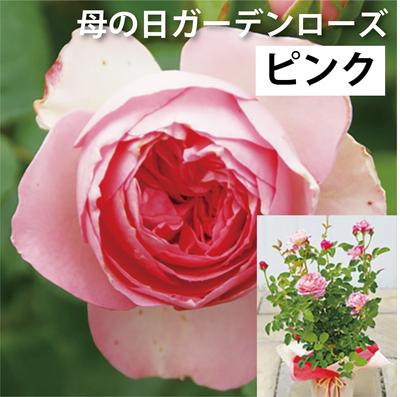 【送料込】母の日ガーデンローズ ピンク系