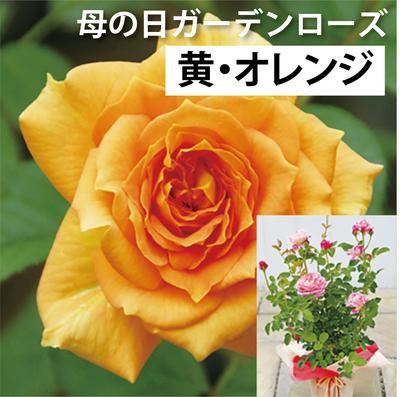 【送料込】母の日ガーデンローズ 黄・オレンジ系