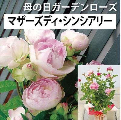 【送料込】母の日ガーデンローズ マザーズディ・シンシアリー