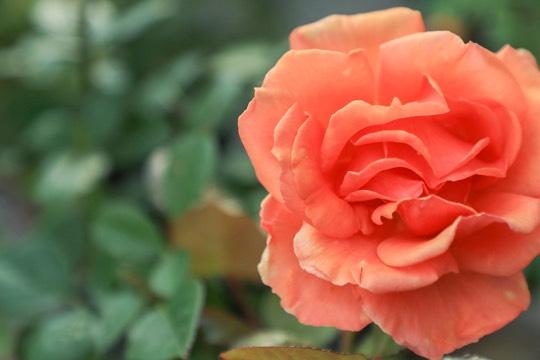 写真:バラのアップ