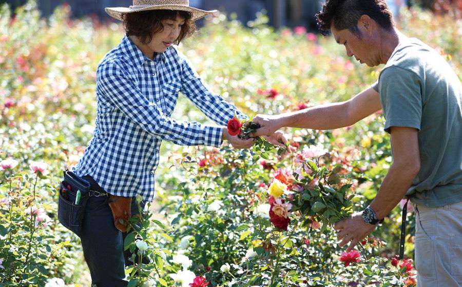 写真:バラの手入れをする男女