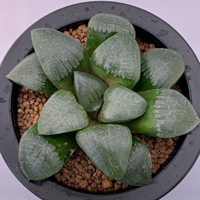 1-12 「福助」スプリング交配種