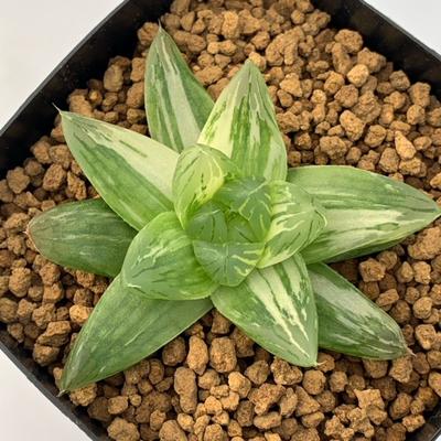 3-22 「花火」シンビフォルミス交配種