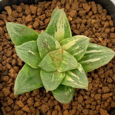 2-17 「梅仙錦」オブツーサ交配美種