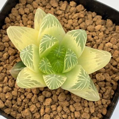 2-23 「花火」琥珀班シンビフォルミス錦×オブツーサ