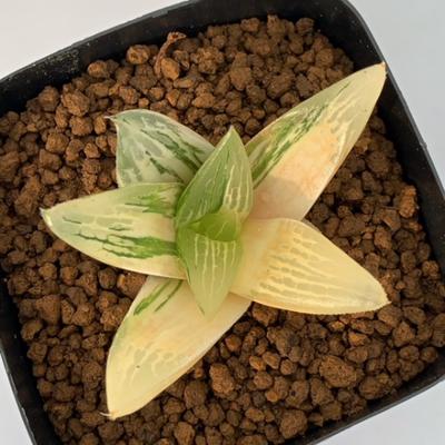 4-22 「ネオンテトラ」コレクタ交配種錦
