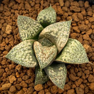 9-13 実生苗・スプレンデンス交配種×花葵スプレンデンス