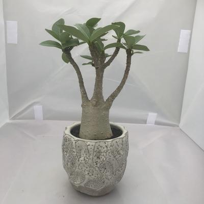 アデニウム アラビカム 陶器鉢(白)