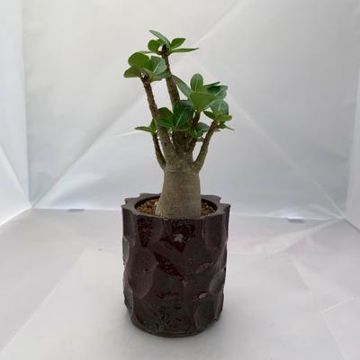 アデニウム アラビカム陶器鉢植(茶)