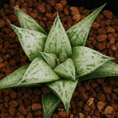 1-5 「メタリカ」 竜鱗系交配美種