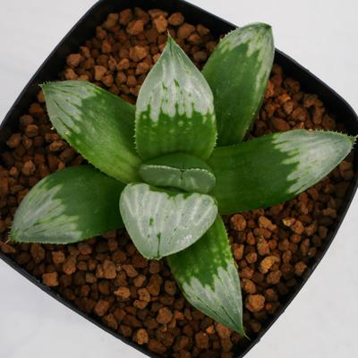 1-6 「白夜二グラ」 NS 2/5  H.mutica v. nigra x 白夜ムチカ