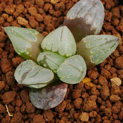 1-16 実生苗 H.chromutica x ミュータント ピグマエア
