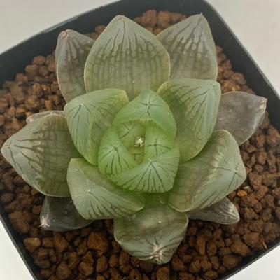 8-15 実生苗・H.rotunda(Thornkloof)×ブルーエンペラー