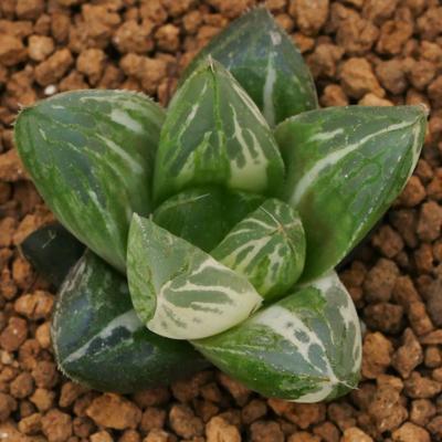 5-20 実生苗 極上斑 秋まつり x ミュータント ピグマエア