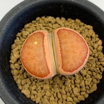 1 リトープス オレンジ 紅窓玉