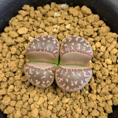 2 リトープス 紫繭形玉