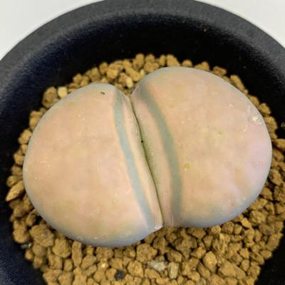 20 リトープス 白薫玉