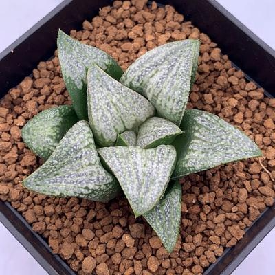 10-17 実生苗・氷雨(ピクタ交配美種)×葵452(花菱×GM452スプレンデンス)