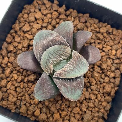 4-19 実生苗・紫ピグマエアOI型×No-1(ブルーダイアモンド交配)