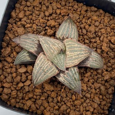 9-5 HSX-20 「ダイアナ」スプレンデンス交配美種