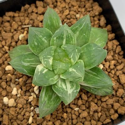 9-20 「ウリン」シンビフォルミス錦交配美種