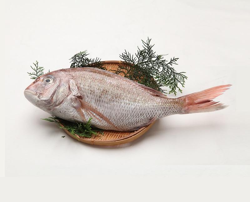 天然 真鯛 お食い初め用(原体500~600g約30cm)