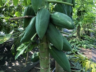 青パパイア / Green papaya1kg