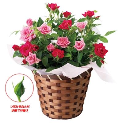 〔送料無料〕〔直送〕【母の日ギフト】ミニバラ2色咲き