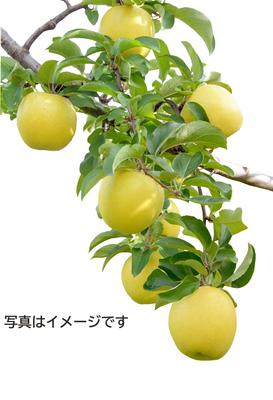 【雪室貯蔵】「雪っ子りんご シナノゴールド」(ハーフサイズ/18玉)