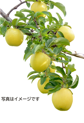 【雪室貯蔵】「雪っ子りんご シナノゴールド」(28玉)