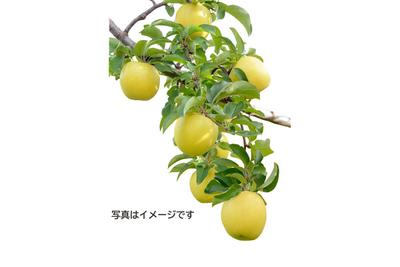 【雪室貯蔵】「雪っ子りんご シナノゴールド」(ハーフサイズ/14玉)