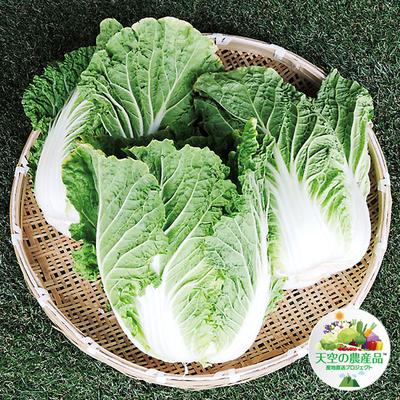信州八ヶ岳 野辺山高原「霧下」白菜【3玉】