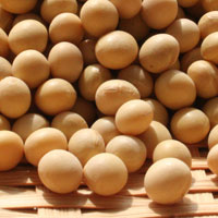 イソフラボン高含有大豆「ゆきぴりか」(R1・北海道産)30kg袋入